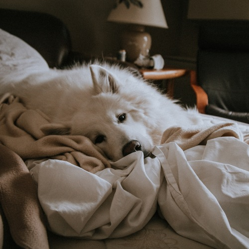 Dog lying in bed